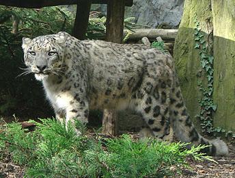 Espécies de Leopardos   Leopardo_neves